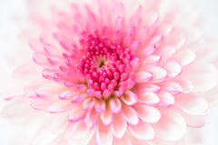 Pink chrysanthemums Stock Image