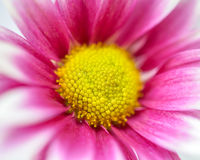 Pink chrysanthemums. In soft color for background Royalty Free Stock Photo