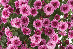 Pink Chrysanthemums Royalty Free Stock Photo