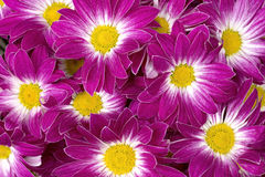 Pink chysanthemums Royalty Free Stock Photos