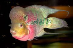 Pink cichlid Royalty Free Stock Images