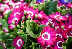 Cineraria flower Stock Photography