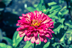 Pink Cineraria in the garden Royalty Free Stock Photo