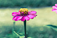 Pink Cineraria in the garden Royalty Free Stock Images