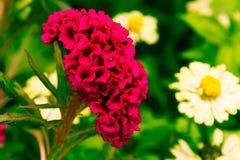 Pink Cineraria in the garden Stock Photos