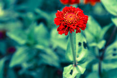 Pink Cineraria in the garden Royalty Free Stock Photography