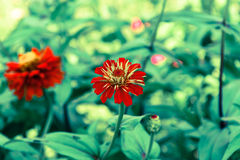 Pink Cineraria in the garden Stock Photography