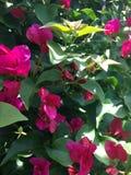 Pink Clemantis Stock Image