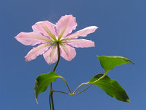 Pink clematis. Against clear blue sky stock images