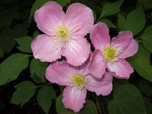 Pink clematis Stock Photography