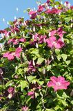Pink Clematis Stock Photo
