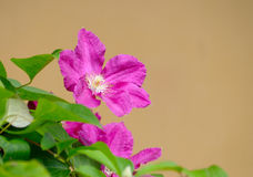 Pink clematis. On golden background Stock Image