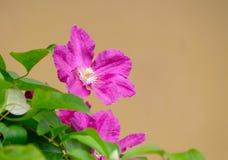 Pink clematis Stock Image