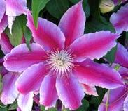 pink clematis Royalty Free Stock Photos