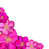 Pink Clematis Background Vector Illustration Royalty Free Stock Image