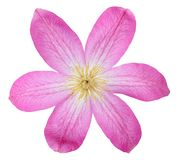 Pink clematis Royalty Free Stock Photo