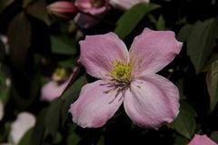 Pink Clematis Royalty Free Stock Photography