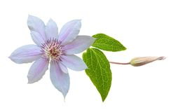 Pink clematis; buds and leaves Stock Photography