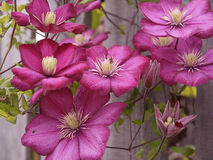 Pink Clematis climbing plant in Burnley Lancashire Stock Photo