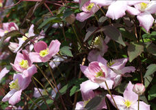 Pink clematis climbing plant with multiple blooms. Royalty Free Stock Image