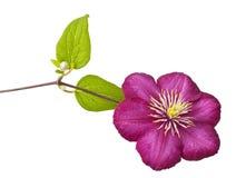 Pink clematis Royalty Free Stock Image