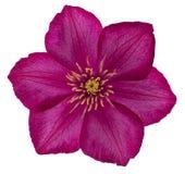 Pink clematis flower Royalty Free Stock Image