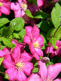 Pink clematis flowers with dew drops on the petals Royalty Free Stock Photo
