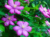 Pink clematis flowers. Pink clematis flowers in garden Royalty Free Stock Photography
