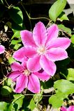 Pink clematis flowers Royalty Free Stock Images