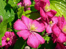 Pink clematis flowers with water drops on the petals Royalty Free Stock Photography