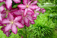 Pink clematis in garden Royalty Free Stock Photo