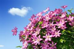 Pink clematis in garden. Attractive pink clematis in summer garden over sky Royalty Free Stock Photo