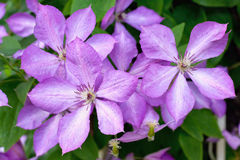 Pink clematis in a garden Royalty Free Stock Image