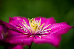 Pink clematis with his fluffy heart stock images