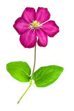 Pink clematis isolated on white Royalty Free Stock Images