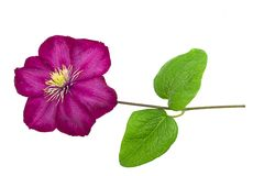 Pink clematis isolated on white background Royalty Free Stock Photos