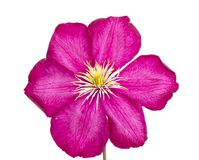 Pink clematis isolated on white background Royalty Free Stock Images