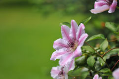 Pink Clematis Nelly Moser Stock Image