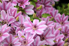 Pink Clematis Nelly Moser Stock Photography