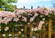 Pink clematis on the old, wooden fence royalty free stock images