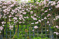 Pink clematis on the old, wooden fence Stock Photo