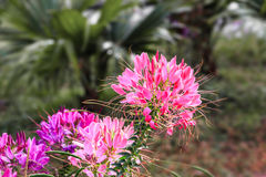 Pink cleome flower Stock Photo