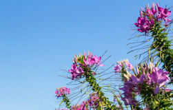 Pink cleome flowers on sky background Royalty Free Stock Photography