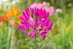 Pink Cleome Growing on Flower Bed Stock Photo