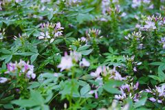Pink cleome spider flower in garden. blooming flora. In park royalty free stock photo