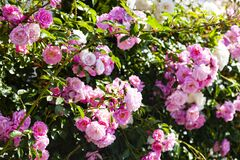 Free Pink Climbing Rose Closeup Royalty Free Stock Images - 185181569