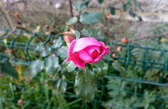 Pink climbing rose. On fence Royalty Free Stock Photo