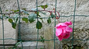Pink climbing rose. On fence Stock Photos