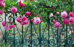Pink climbing rose on forged fence in garden. Pink climbing rose with dew on blue forged fence in summer garden Royalty Free Stock Photography