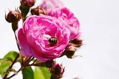 Pink climbing rose Geschwind Nordlandrose, Geschwind 1884 with western honey bee Apis Mellifera deep in flower center, pale backgr Stock Image